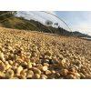 grains de café en train de sécher sous le soleil brésilien