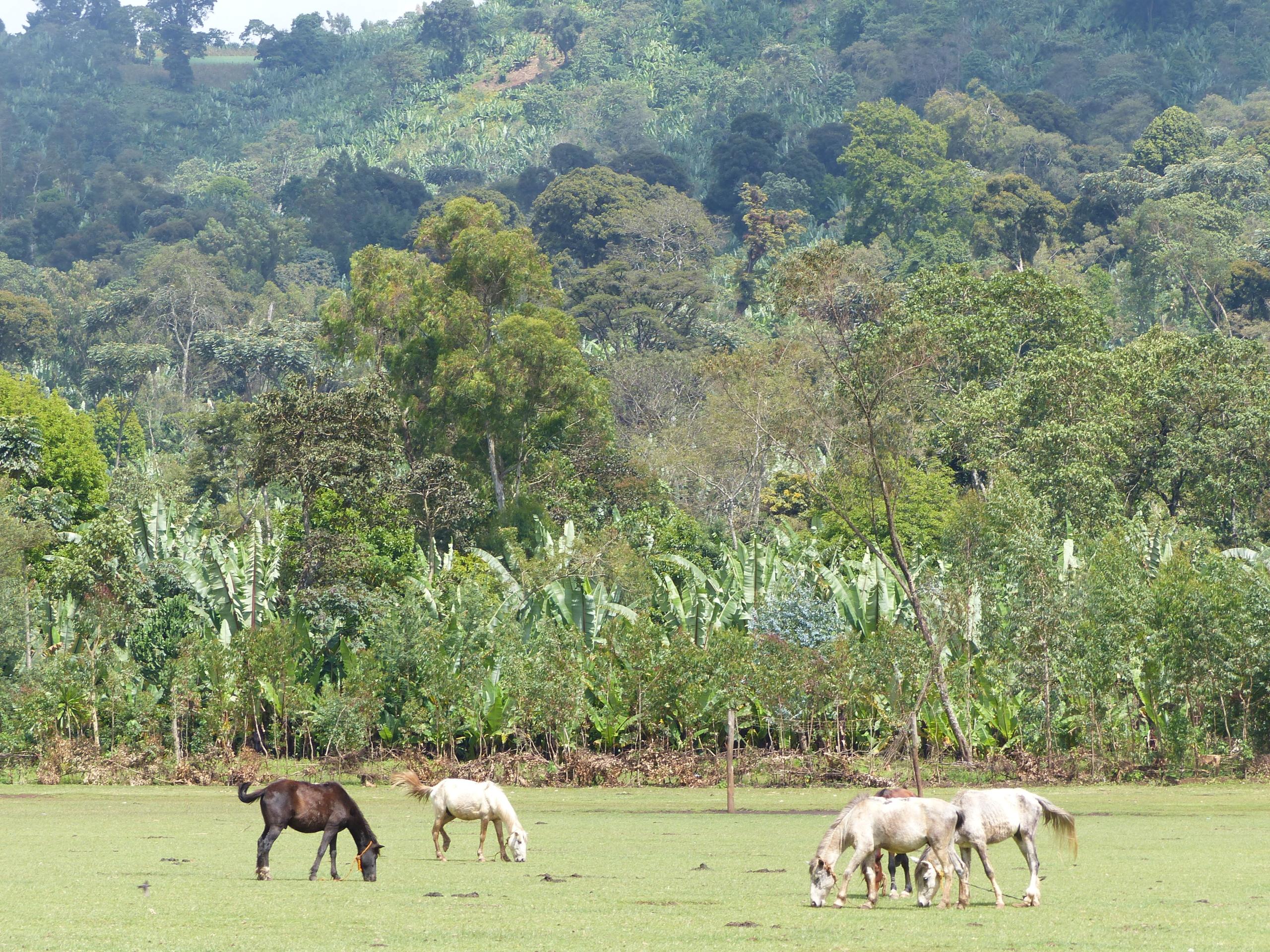Hauts plateaux éthiopiens - région Yirgacheffe