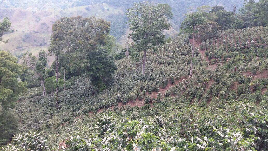 Pieds de caféiers dans la plantation de Don Cheo au Panama